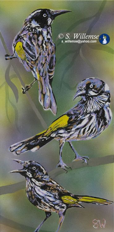 New Holland honeyeaters by Susan Willemse - search and link Fine Art with ARTdefs.com