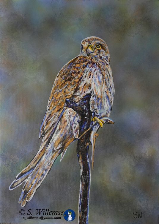 Nankeen Kestrel: Last supper before the storm by Susan Willemse - search and link Fine Art with ARTdefs.com